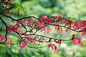 Acer palmatum 'Osakazuki'
