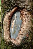 Sycamore (Acer pseudoplatanus) tree trunk
