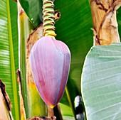 Banana (Musa sikkimensis 'Red Tiger')