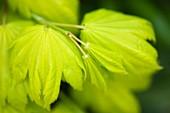 Maple (Acer japonicum)