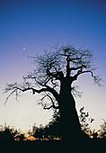 Moon,Venus,and Baobab