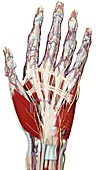 Palmar surface of the hand