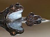 Mating pair of Common Frogs