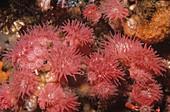 Proliferating Anemones reproducing