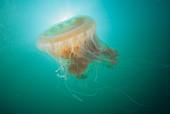 Egg Yolk Jellyfish,California,USA