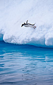 Adelie Penguin plunging into water
