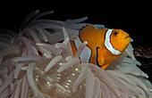 Clown Anemonefish in a Sea Anemone