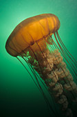 Sea Nettle Jellyfish (Chrysaora fuscesce)
