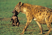 Spotted Hyena mother carrying cub