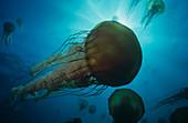 Sea Nettle (Chrysaora fuscescens)
