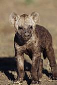 Young Spotted Hyena (Crocuta crocuta)