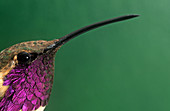 Head of a male Lucifer Hummingbird