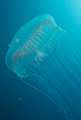 Jellyfish hydromedusa (Aequorea victoria)