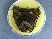 Tragedy mask,microbial art