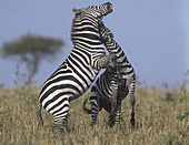 Common or Burchell's Zebras fighting