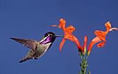 Costa's Hummingbird feeding at a flower