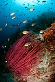 Damselfish on a reef