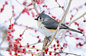 Tufted Titmouse with fluffed feathers