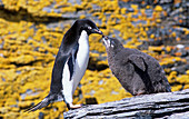 Adelie Penguin adult with its chick