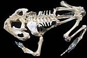 African Bullfrog skeleton