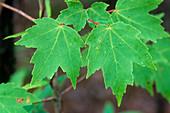 Red Maple summer leaves (Acer rubrum)