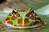 Argentine or Ornate Horned Frog