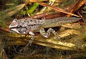 Wood Frog metamorphosing tadpole