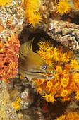 Panamic Green Moray Eel