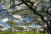 Flat Top Acacia (Acacia abyssinica)