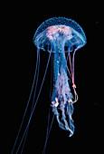 Luminescent Jellyfish (Pelagia noctiluca)
