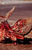 Komodo dragons eating dead dolphin
