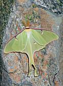 Luna Moth ,Actias luna,Northeastern USA