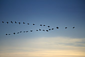 Canada Goose flying in a V formation