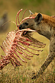 Spotted Hyena carrying prey