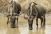 White-bearded Wildebeests drinking