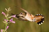 Rufous Hummingbird female feeding