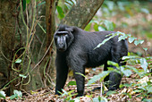 30 year old Celebes Crested Macaque