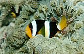 Clark's Anemone Fish (Amphiprion clarkii)