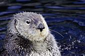 California Sea Otter (Enhydra lutris)