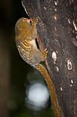 Pygmy Marmoset feeding on sap holes