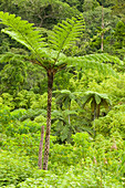 A tree fern in the rainforest on Fiji