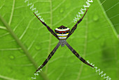 Spider in its web (Argiope),Thailand