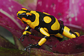 Harlequin Poison Frog on a Bromeliad