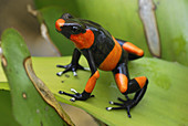 Red-banded Poison Frog on a bromeliad