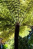 Tree Fern (Dicksonia)