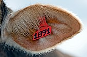 Pig ear tag