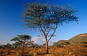 Numerous Weaver nests in an Acacia tree