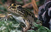 Southern Leopard Frog (Rana utricularia)