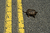 Snapping Turtle crossing a highway