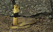 Egyptian Banded Cobra with its hood open